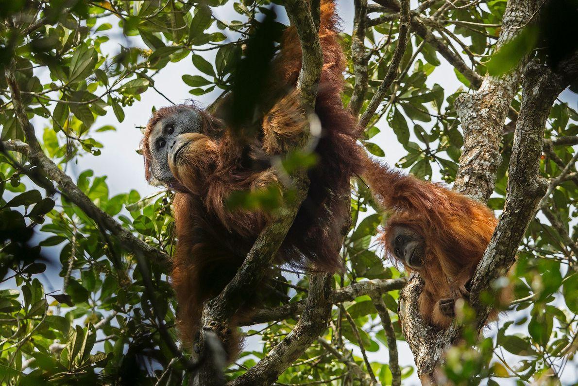Les orang-outans de Tapanuli ne vivent que dans une seule forêt isolée dans les montagnes de ...