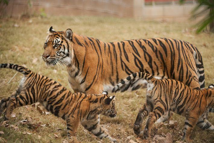 Une tigresse de Sumatra veille sur ses petits pendant qu'ils s'amusent dans le zoo d'Atlanta. Les tigres ...