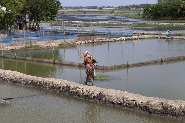 Dans les Sundarbans, les tigres tuent des dizaines de personnes chaque année. Si le mari d'une ...