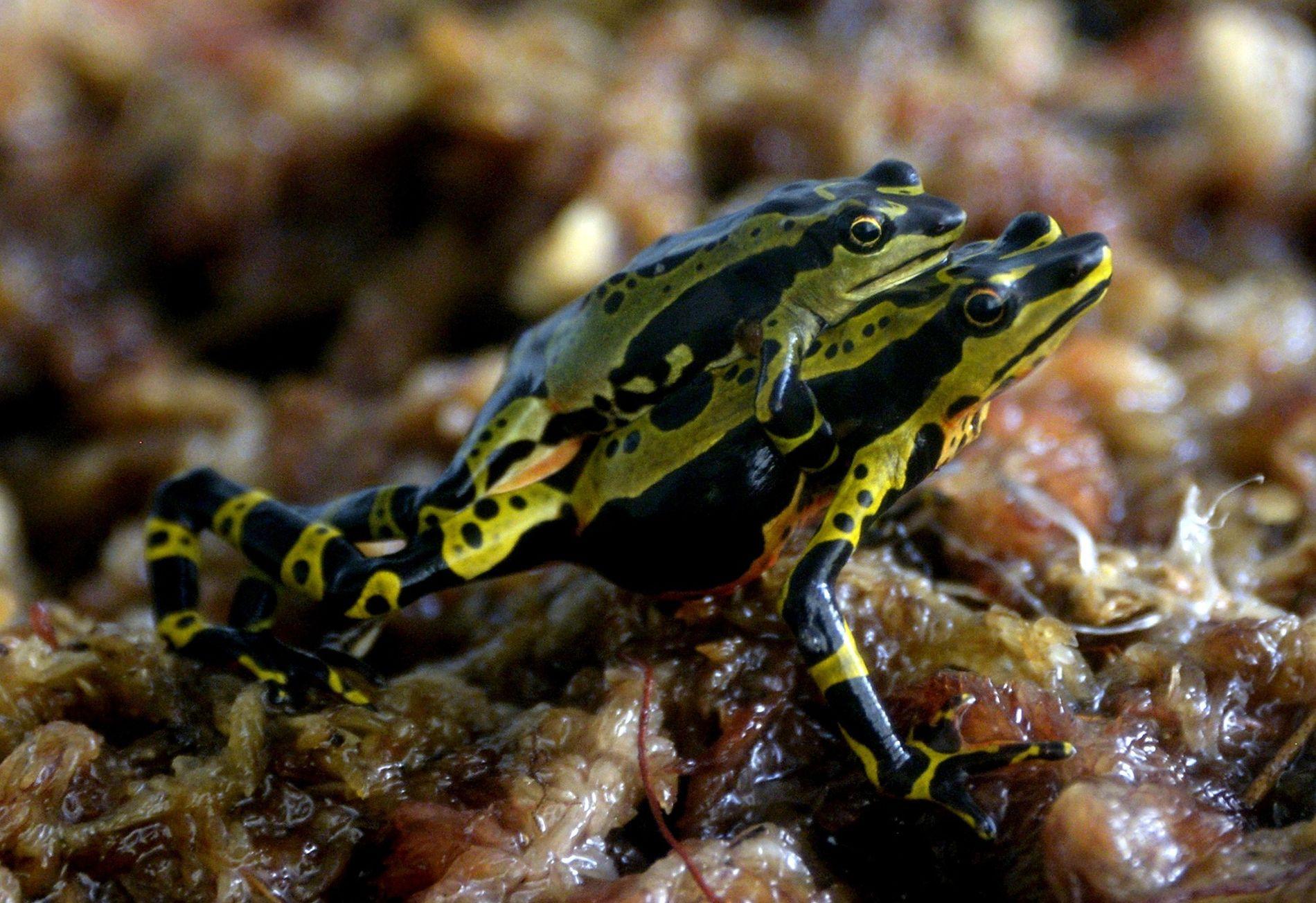 La grenouille venimeuse de l'espèce Atelopus spumarius.