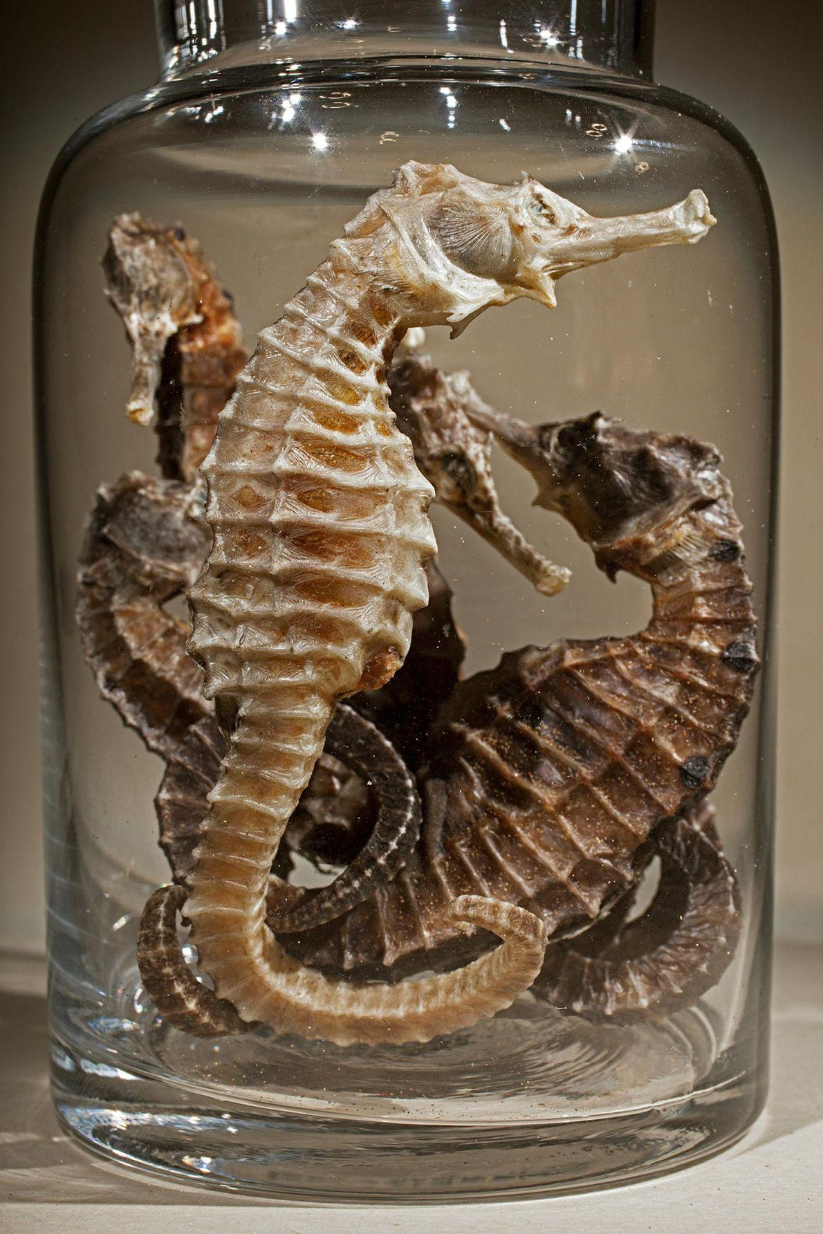 Chaque année, 20 millions ou plus d'hippocampes font l'objet d'échanges commerciaux pour traiter des maladies telles ...