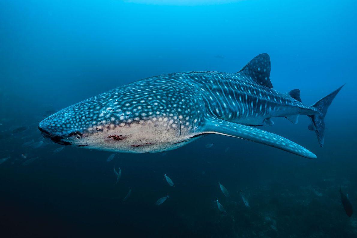 Un requin-baleine s'insinue dans les eaux du récif de Tubbataha, qui abrite 11 espèces de requins …