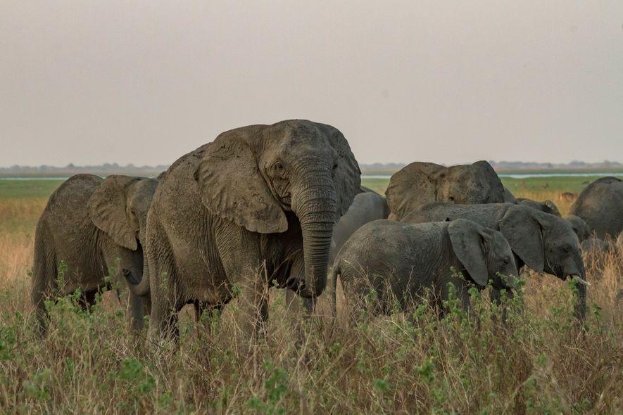Cette matriarche dépourvue de défenses traverse avec sa harde la plaine inondable du parc national de Gorongosa.