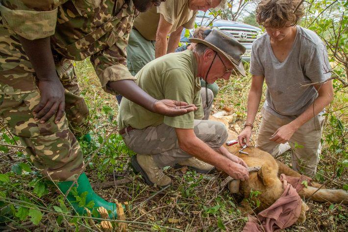 Pose d'un collier émetteur sur une lionne du parc national Queen Elizabeth en 2018 effectuée par ...