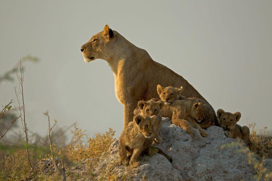 Au Botswana, dans la réserve Selinda, des lionceaux entourent leur mère sur une fourmilière.
