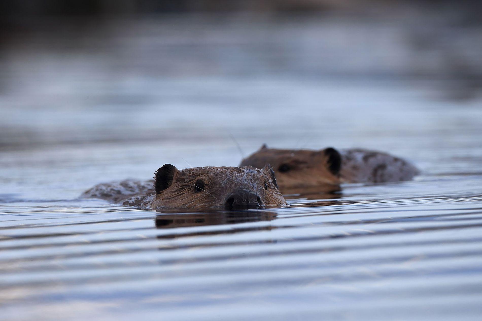 Les couple des castors américains, Castor canadensis, s'unissent pour la vie.