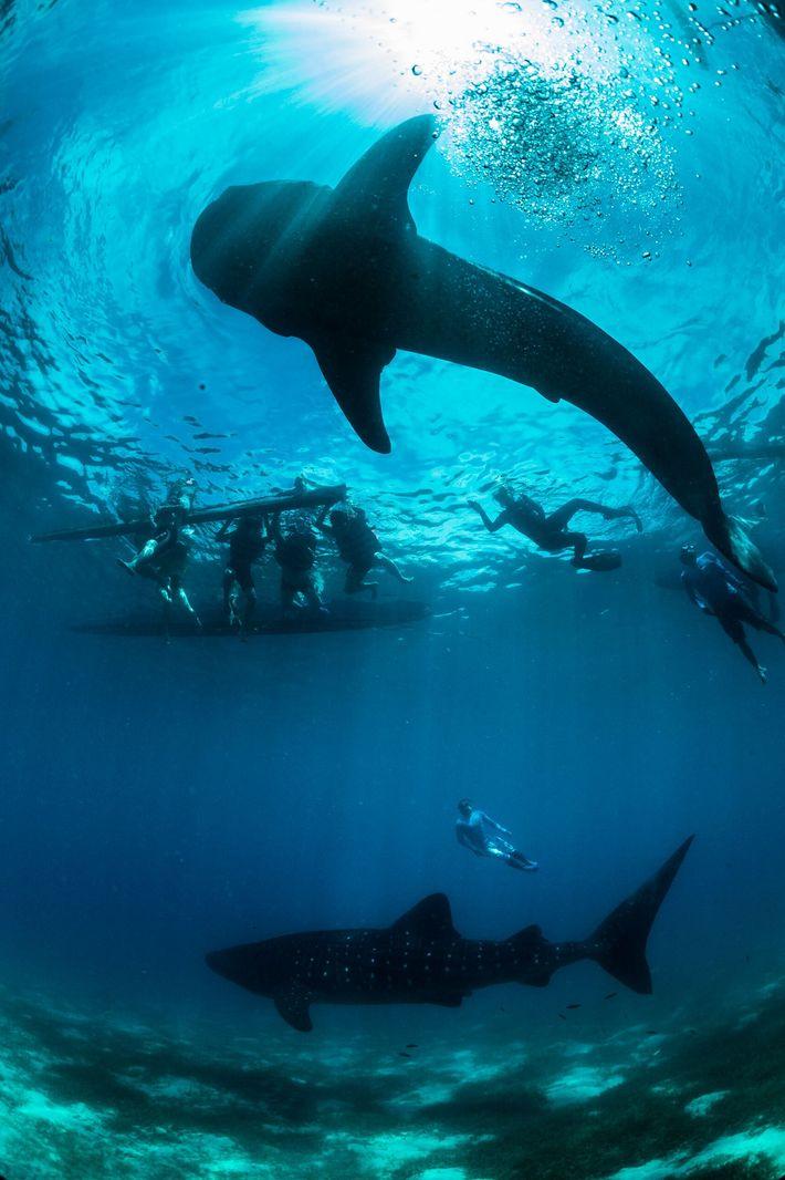 Malgré la protection nationale dont bénéficient les requins-baleines aux Philippines depuis 1998, le braconnage persiste, aussi ...