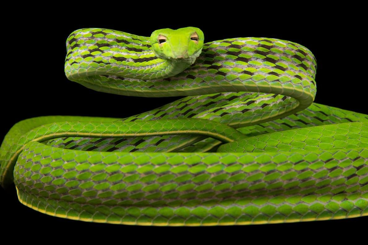 Un serpent oriental, Ahaetulla prasina, au zoo de Singapour.