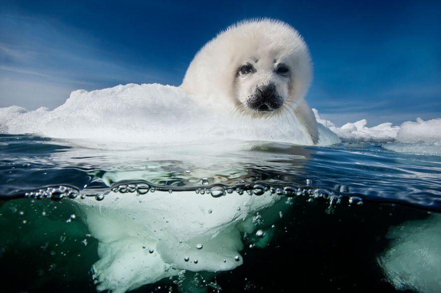 Un bébé phoque du Groenland, aussi appelé blanchon, attend le retour de sa mère dans le ...