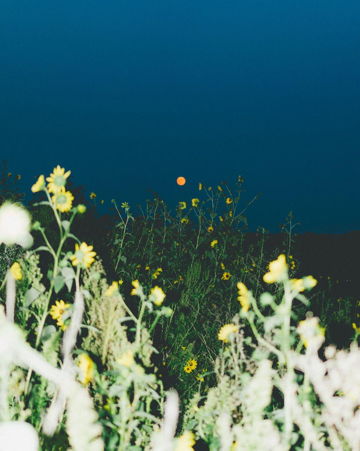 La pleine lune illumine un champ de tournesols en bordure de Lincoln.