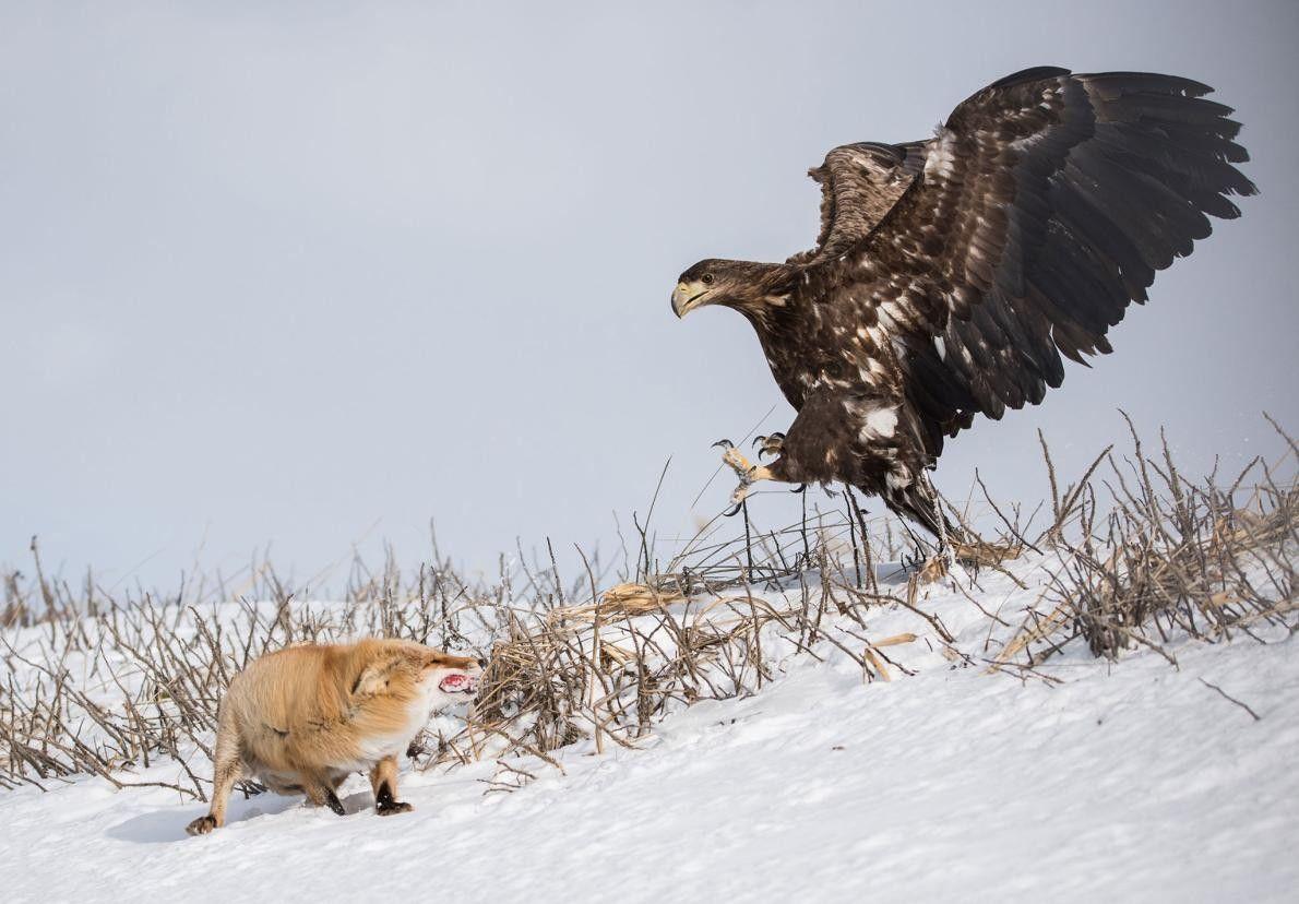 « Ce renard a intercepté la proie d'un pygargue géant à queue blanche. L'oiseau ne le ...