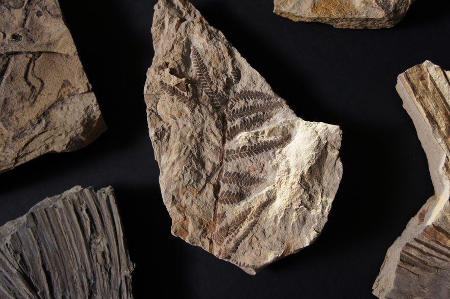 Cette fougère figure parmi les 6 000 feuilles fossilisées trouvées sur le site de Coral Bluffs ...