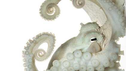 Pourquoi les pieuvres nous ressemblent-elles tant?