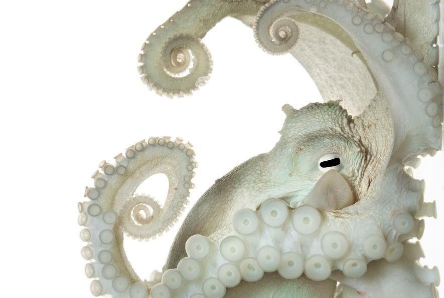 Le système nerveux de cette pieuvre commune, Octopus vulgaris, est beaucoup plus gros et plus complexe ...