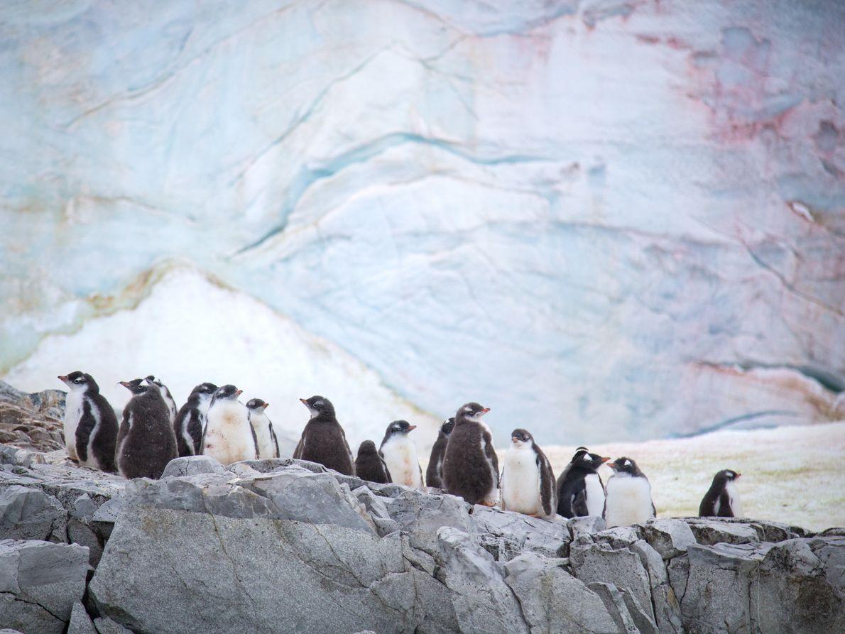 Des manchots papous sur l'île Petermann, en Antarctique. En arrière-plan, des algues prospèrent sur la face ...