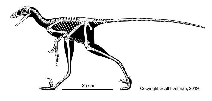 Cette reconstruction du squelette de Hesperornithoides miessleri montre ce à quoi il aurait ressemblé lors de ...