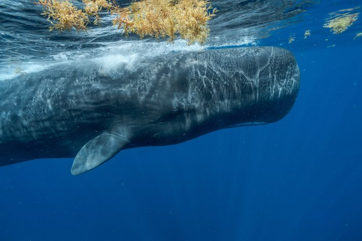 De nombreuses menaces pèsent sur les grands cachalots des Caraïbes, comme la pollution, le changement climatique, ...