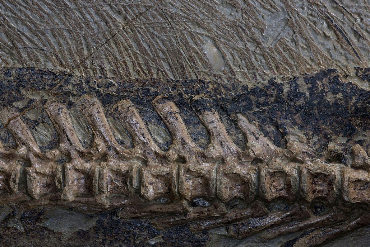Ce gros plan montre la colonne vertébrale et les phanères de la queue d'un fossile extrêmement ...