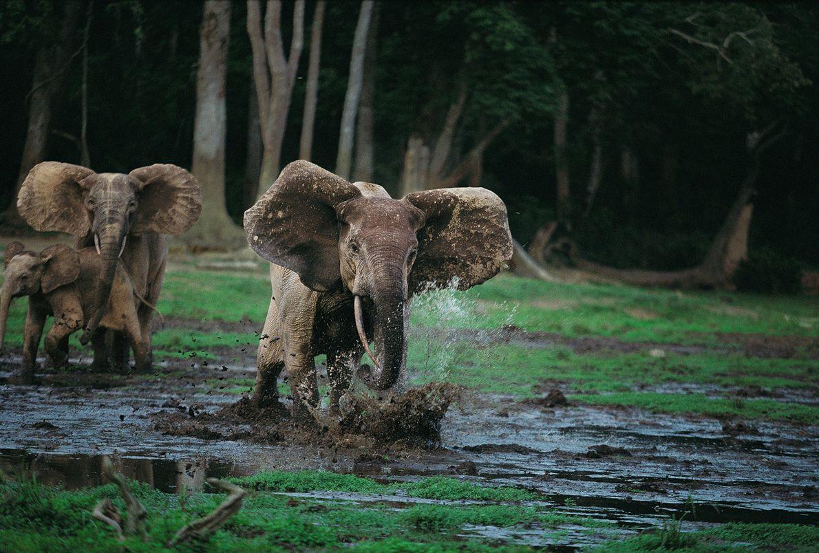 Les éléphants ne dérogent jamais à la protection de leur famille ni de leurs petits et ...