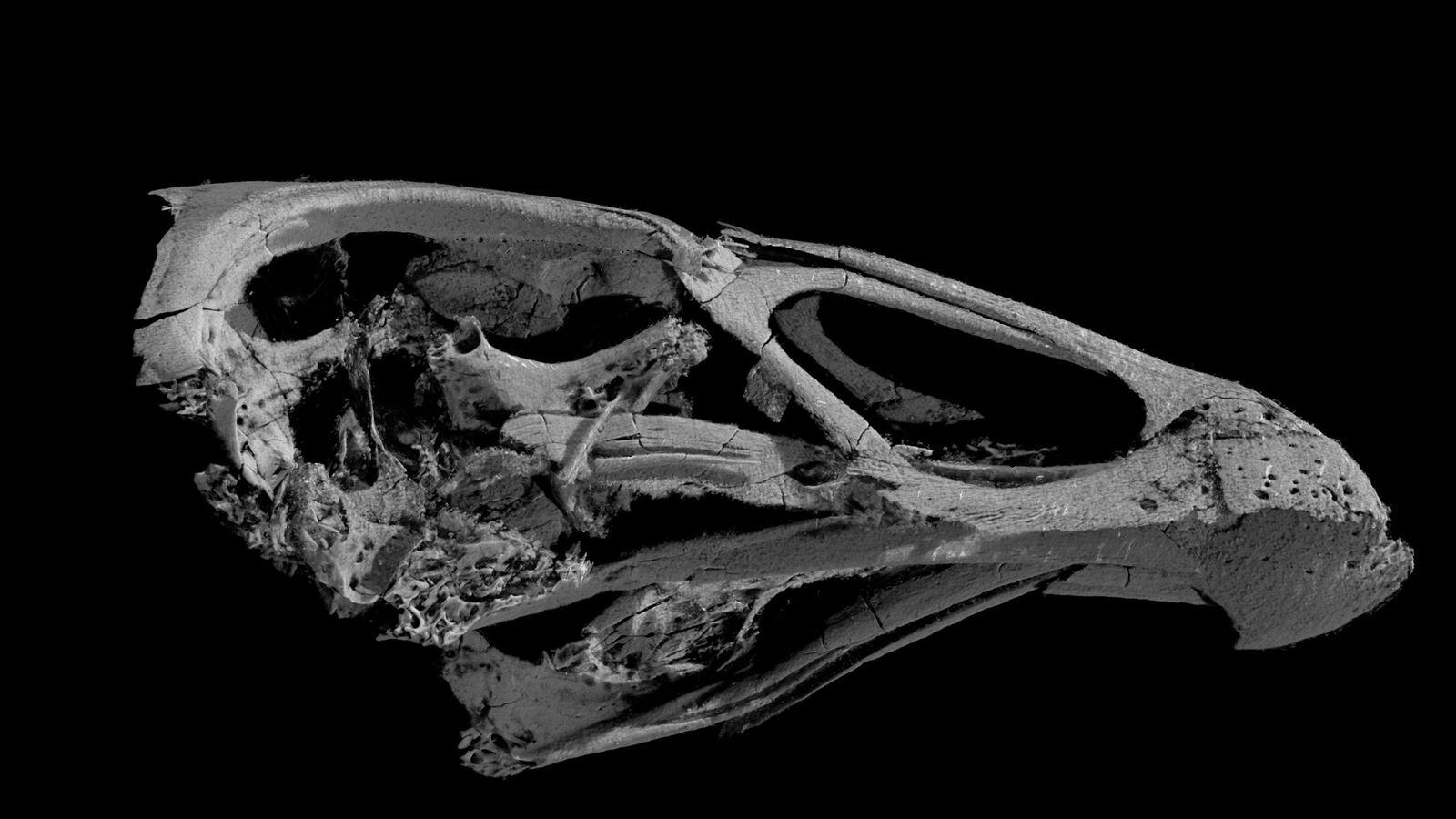 Une image en 3D du crâne de l'Asteriornis maastrichtensis, le plus ancien oiseau moderne connu.