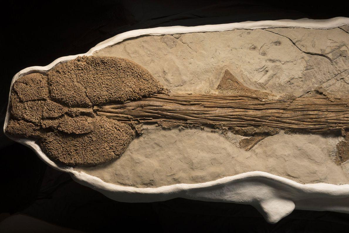 Les ankylosauridés sont connus pour leur queue, qui a évolué pour se transformer en une massue ...