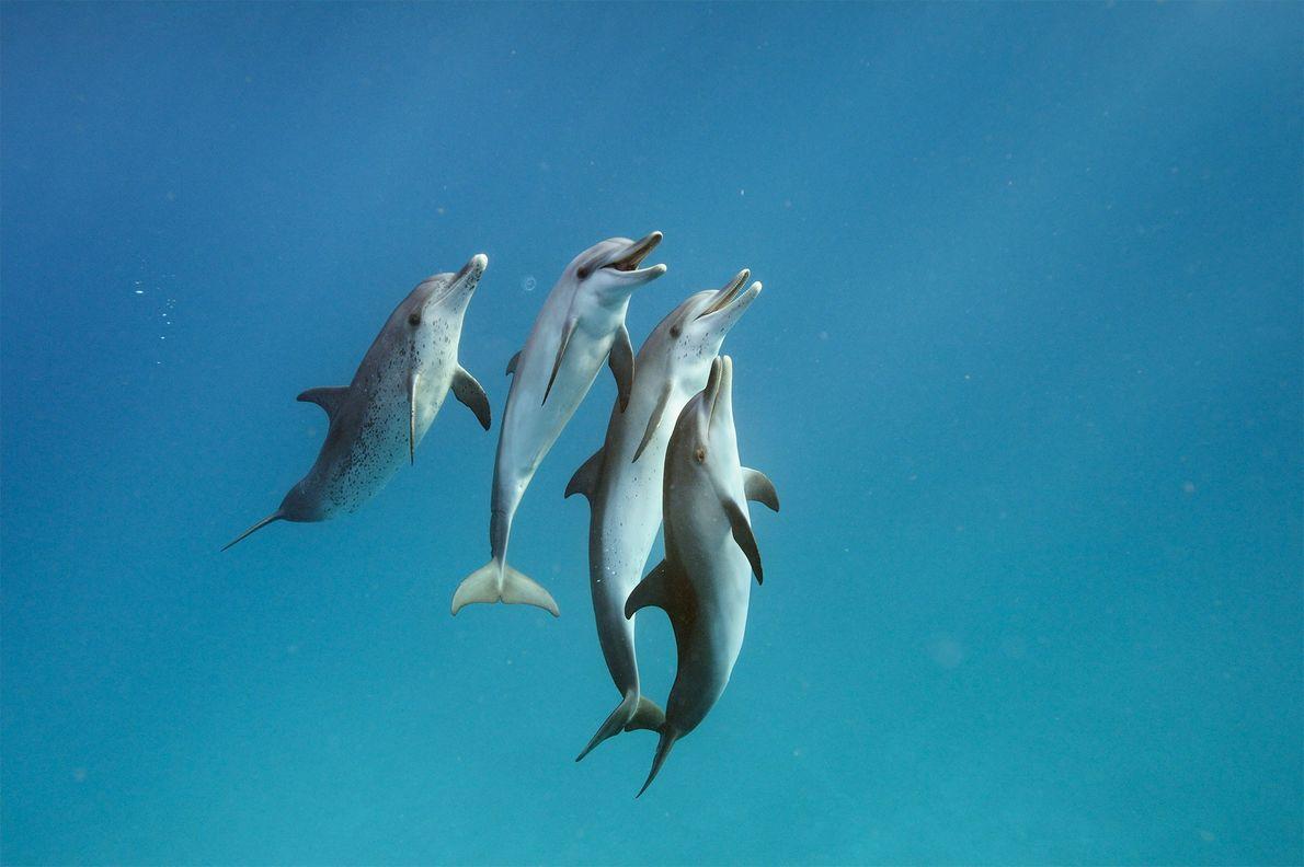 Au large des îles Bimini, dans les Bahamas, ces dauphins tachetés de l'Atlantique (Stenella frontalis) sont ...