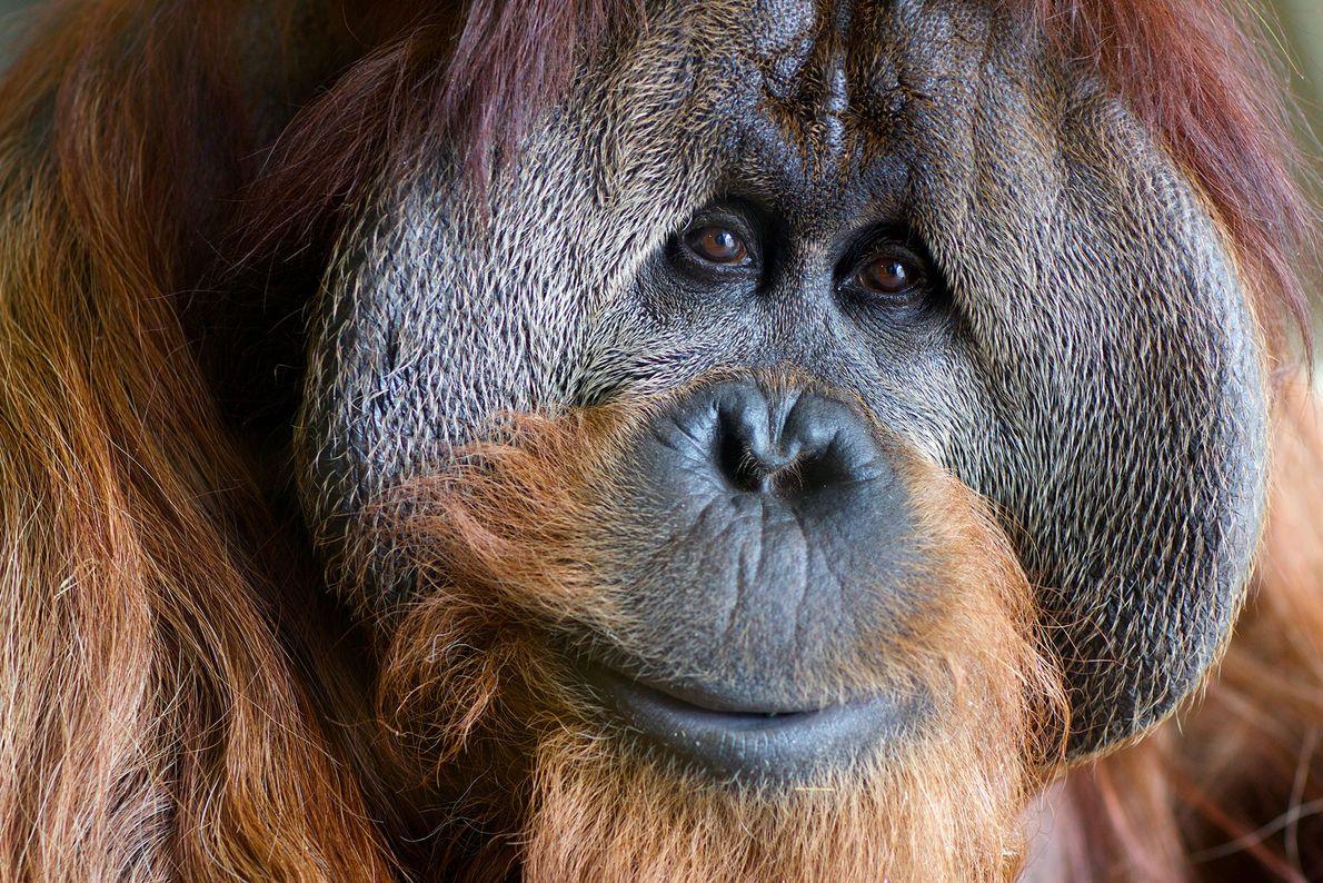 Azy est un orang-outan de 38 ans né au Parc zoologique de Washington. Depuis sa naissance, ...