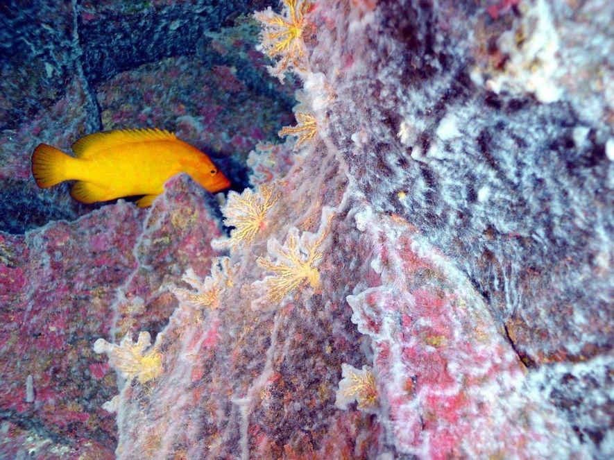Récif corallien à 190 mètres de profondeurs dans l'ouest de l'océan Pacifique. Les composants chimiques relâchés dans l'eau renforcent la propagation des microbes.