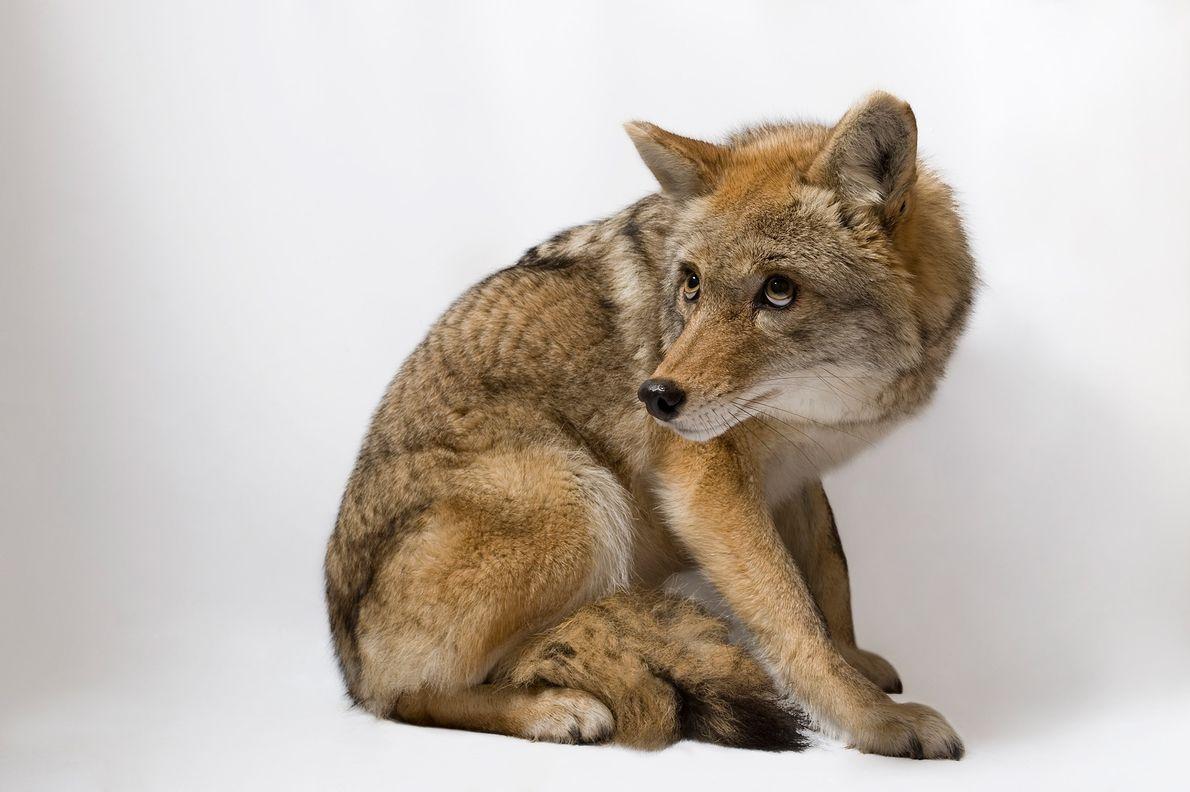 04-alaska-refuge-coyote