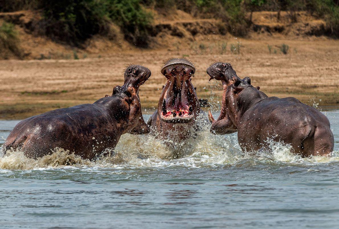 Combat d'hippopotames en Zambie.
