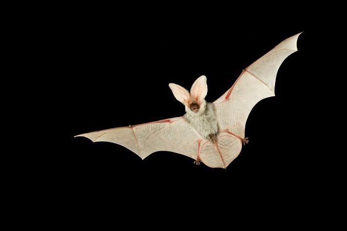 Une femelle oreillard maculé vole de nuit dans le ciel de la forêt nationale de Kaibab ...