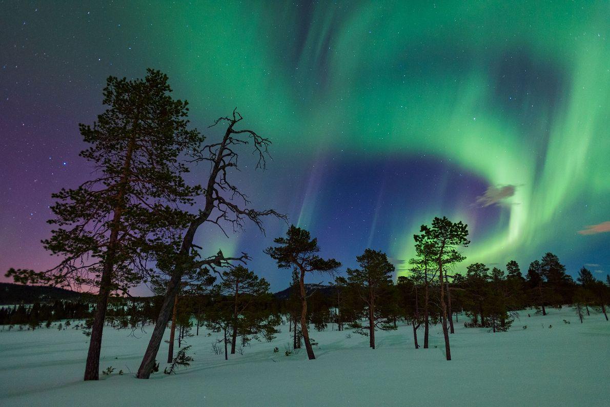 Des pins sylvestres reçoivent la visite d'aurores boréales à Gjenvollhytta, en Norvège.