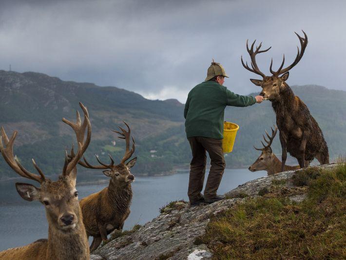 Colin Murdoch, en charge des cerfs de la forêt de Reraig, près de Lochcarron, au Royaume-Uni, ...