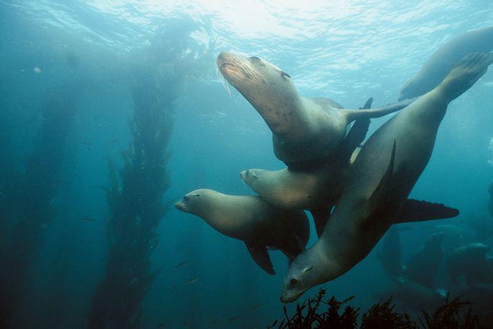 Grâce à l'adoption de la loi sur la protection des mammifères marins en 1972, les otaries ...