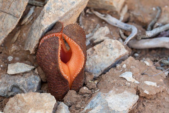 La fleur charnue de l'hydnora africana apparaît après un épisode de pluie.