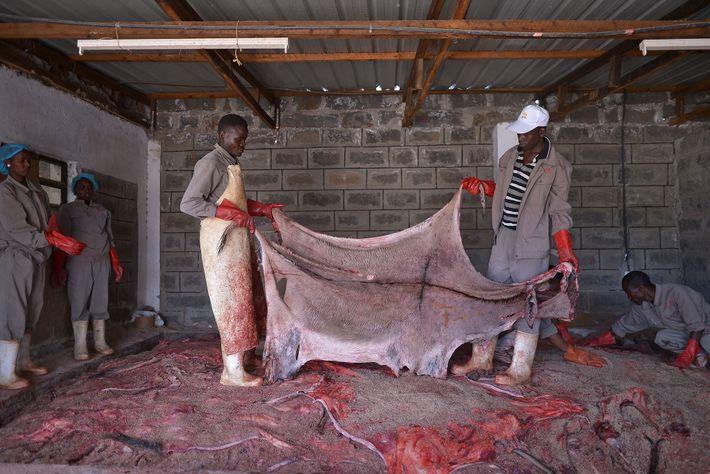 Dans cet abattoir agréé situé au Kenya, des ouvriers s'apprêtent à traiter une peau. La fermeture ...