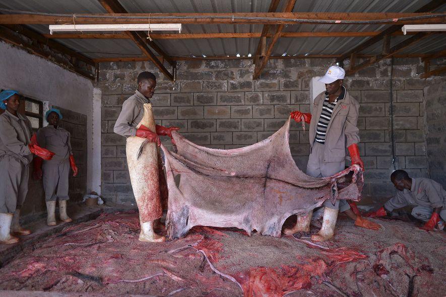 Dans cet abattoir agréé situé au Kenya, des ouvriers s'apprêtent à traiter une peau. La fermeture d'abattoirs dans d'autres pays ainsi que la demande croissante de peaux favorisent le commerce clandestin.