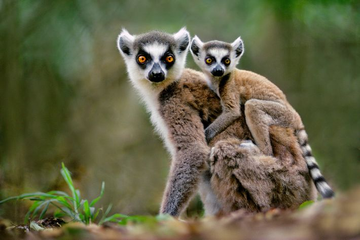 Les maki catta sont très recherchés comme animaux de compagnie, et ce malgré le fait que ...
