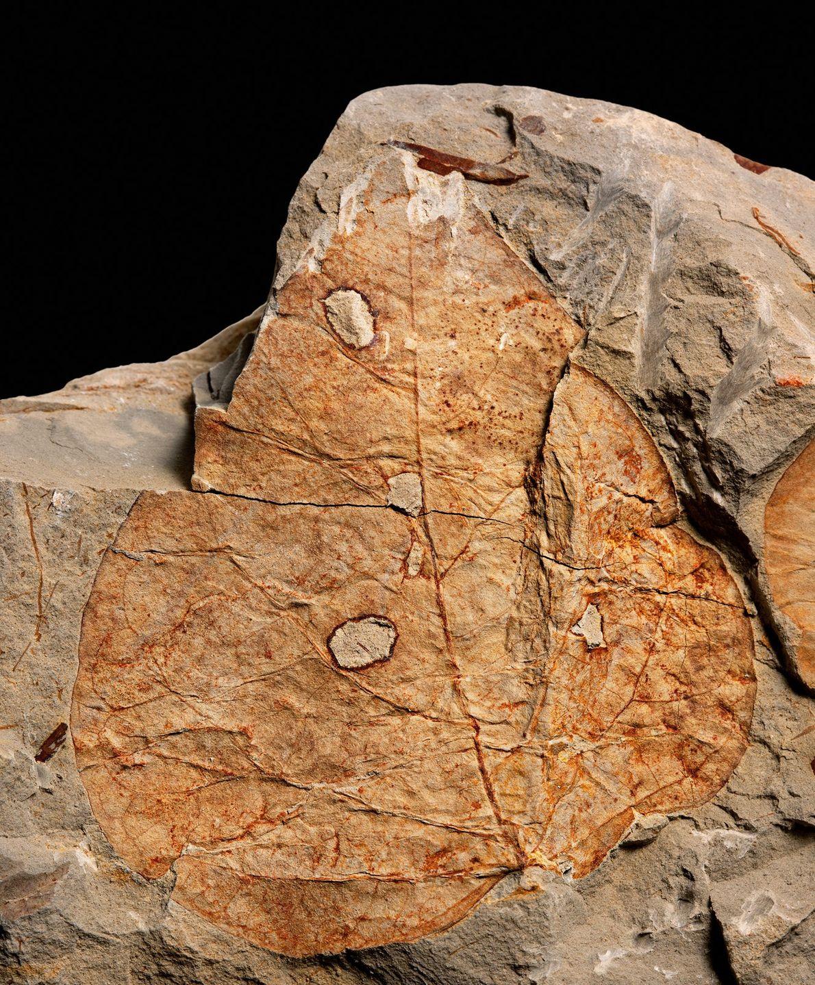 Les trous dans les feuilles fossilisées comme celle-ci indiquent que les insectes dans le bassin de ...
