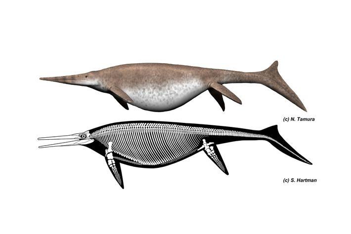 Représentation du squelette de l'ichthyosaure géant Shonisaurus et de ce à quoi il ressemblait.