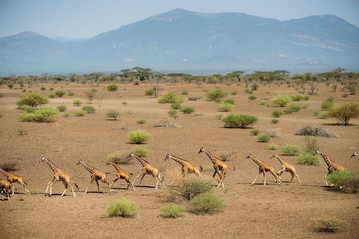 La perte et la fragmentation de l'habitat des girafes, ainsi que le braconnage, seraient à l'origine ...