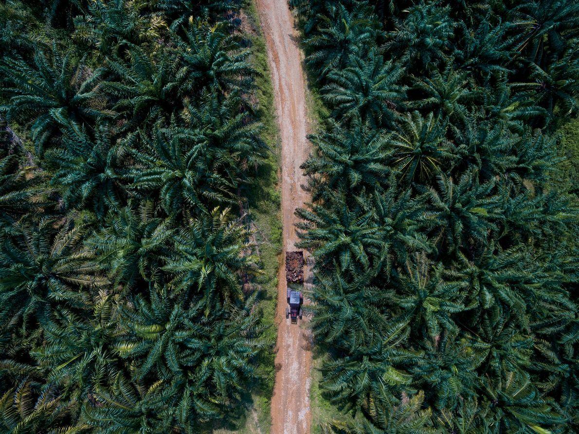Les fruits de palmiers à huile sont récoltés à la main, puis acheminés vers une usine ...