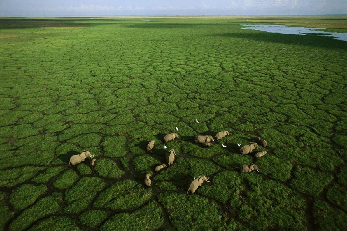 Les éléphants d'Afrique avancent dans des sentiers naturels près du lac Amboseli dans le parc national ...