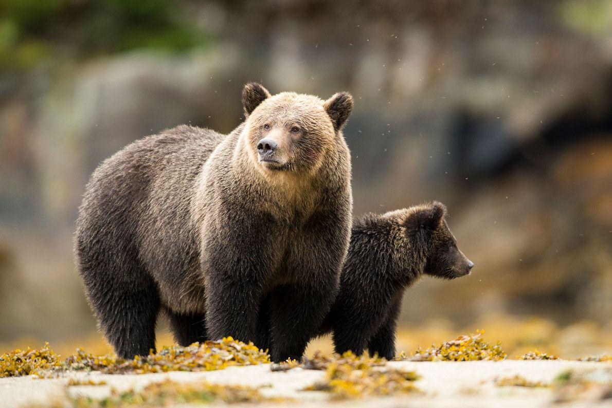 Dans un estuaire à marée basse, une mère grizzli se tient aux côtés de son petit. ...