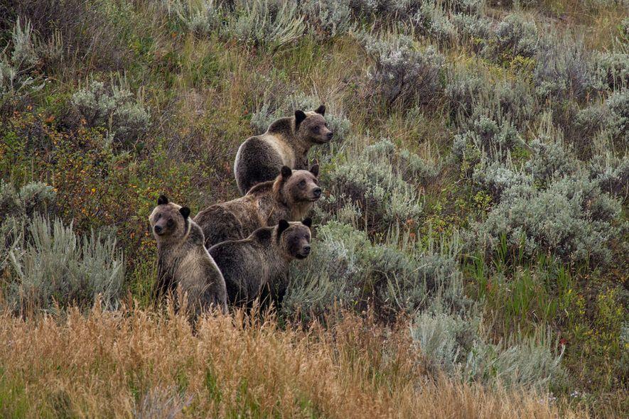 Un grizzly avec ses petits dans le parc de Yellowstone.