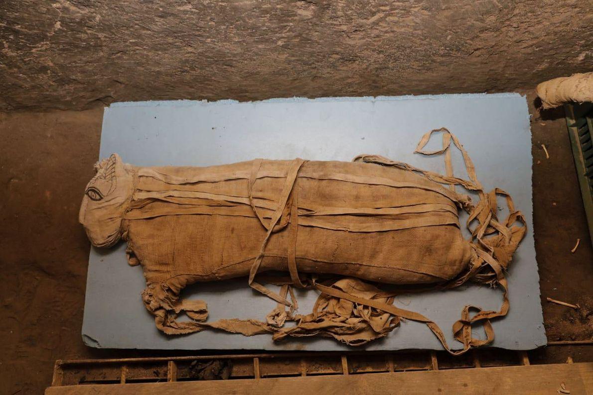 Ce lionceau était âgé d'environ huit mois lorsqu'il a été momifié. Jusqu'à l'annonce de cette découverte ...