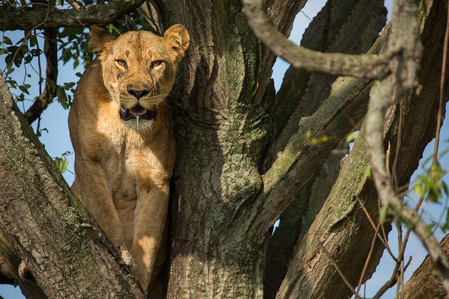Une lionne, perchée dans un arbre, observe les environs. La mort d'une femelle en âge de ...