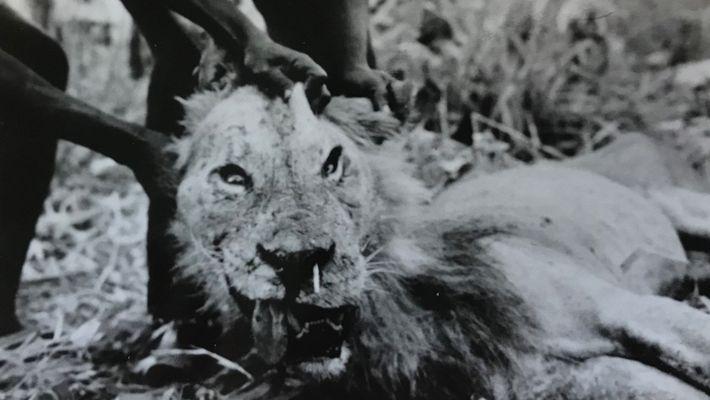Sur cette photographie du « mangeur d'hommes de Darajani », un lion qui a tué un ...
