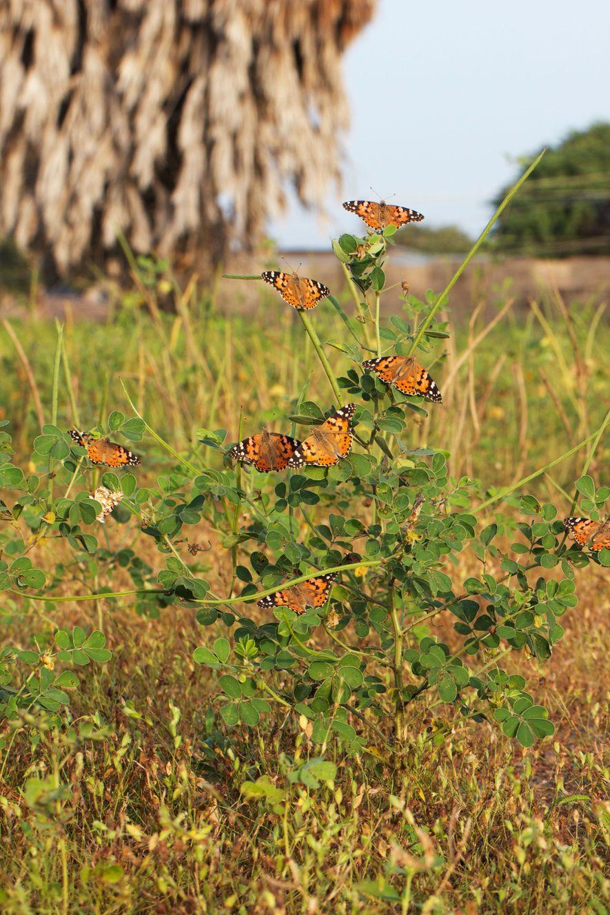 Des papillons belle-dame se rassemblent au Bénin, à proximité du fleuve Niger. Ces papillons sont certainement ...