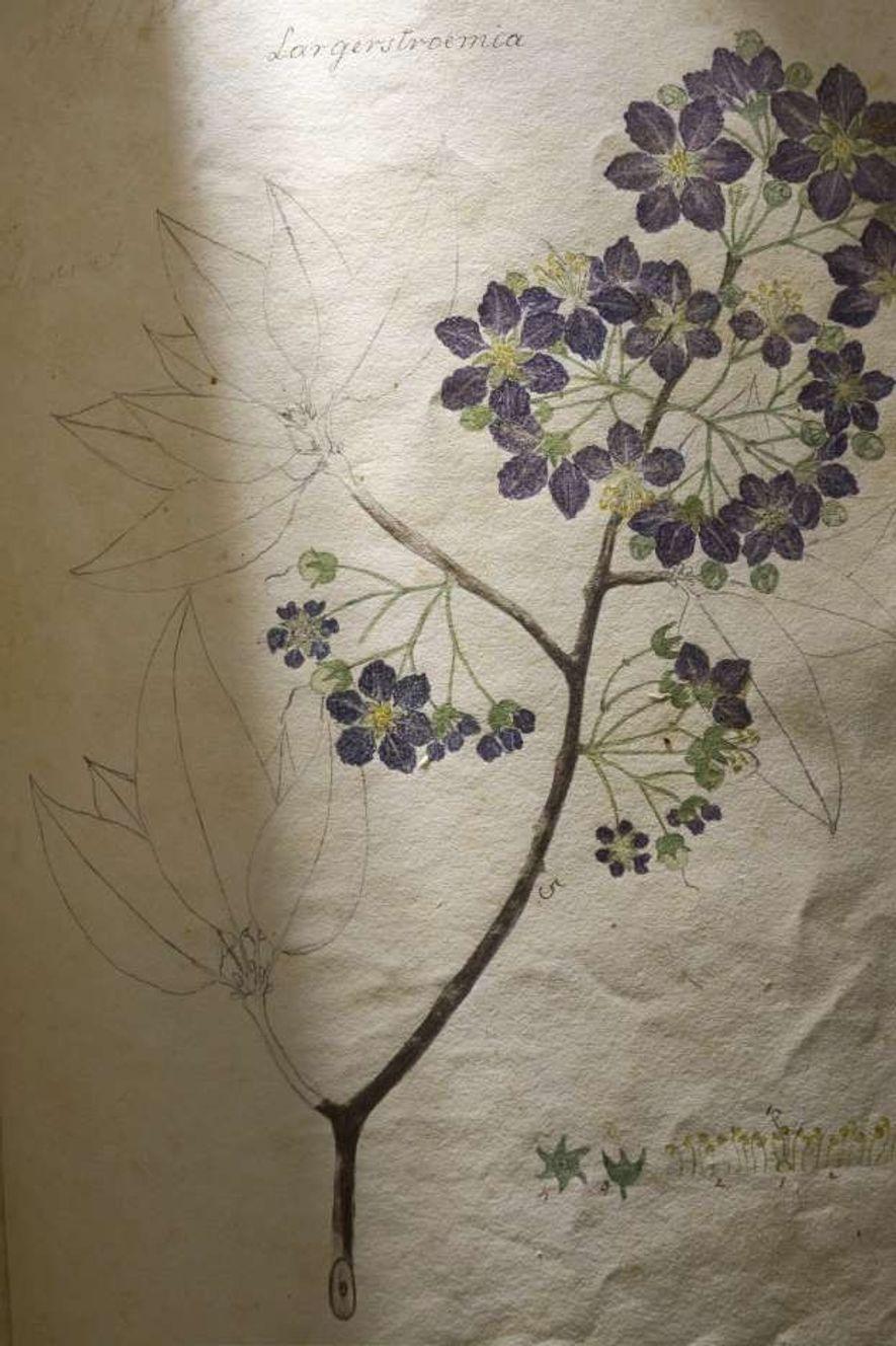 Cette illustration étiquetée « Largerstroemia » est originale car incomplète. Les fleurs sont coloriées mais les ...